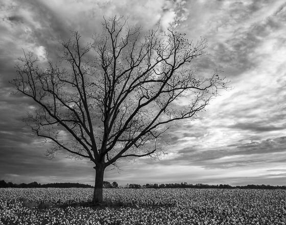 South Carolina staples - cotton and pecans.  It is very unusual to find a solitary tree in any cotton field because of the disruption that an object like this causes a six row planter or harvester.