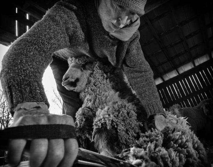 Shear Day
